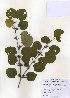 (Cercidiphyllaceae - PDBK2010-1046)  @11 [ ] Copyright (2010) Ki Joong Kim Korea University Herbarium (KUS)