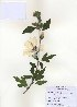 ( - PDBK2010-1064)  @11 [ ] Copyright (2010) Ki Joong Kim Korea University Herbarium (KUS)