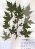 (Acer saccharinum - PDBK2010-1074)  @13 [ ] Copyright (2010) Ki Joong Kim Korea University Herbarium (KUS)