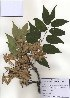 ( - PDBK2010-1077)  @11 [ ] Copyright (2010) Ki Joong Kim Korea University Herbarium (KUS)