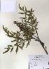 ( - PDBK2010-1080)  @11 [ ] Copyright (2010) Ki Joong Kim Korea University Herbarium (KUS)
