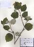 (Elaeagnus submacrophylla - PDBK2010-1426)  @11 [ ] Copyright (2010) Ki Joong Kim Korea University Herbarium (KUS)