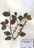 (Taxillus - PDBK2010-1444)  @13 [ ] Copyright (2010) Ki Joong Kim Korea University Herbarium (KUS)