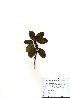 (Rhododendron aureum - PDBK2010-1630)  @11 [ ] Copyright (2010) Ki Joong Kim Korea University Herbarium (KUS)
