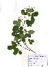 (Campylotropis - PDBK2010-1664)  @11 [ ] Copyright (2010) Ki Joong Kim Korea University Herbarium (KUS)
