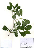(Exochorda serratifolia - PDBK2010-1748)  @11 [ ] Copyright (2010) Ki Joong Kim Korea University Herbarium (KUS)