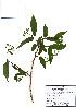 (Deutzia - PDBK2010-1759)  @11 [ ] Copyright (2010) Ki Joong Kim Korea University Herbarium (KUS)