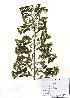 (Spiraea trichocarpa - PDBK2010-1768)  @11 [ ] Copyright (2010) Ki Joong Kim Korea University Herbarium (KUS)