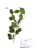 (Rhamnus parvifolia - PDBK2010-1771)  @11 [ ] Copyright (2010) Ki Joong Kim Korea University Herbarium (KUS)