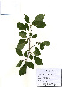 (Rhamnus parvifolia - PDBK2010-1783)  @11 [ ] Copyright (2010) Ki Joong Kim Korea University Herbarium (KUS)