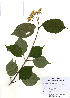(Viburnum wrightii - PDBK2010-1809)  @11 [ ] Copyright (2010) Ki Joong Kim Korea University Herbarium (KUS)