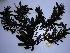 (Sargassum sp - GWS032464)  @11 [ ] Unspecified (default): All Rights Reserved  Unspecified Unspecified