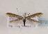 (Coleophora svenssoni - TLMF Lep 02723)  @14 [ ] Copyright  TLMF 2011 Unspecified