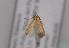 (Coleophora micronotella - TLMF Lep 04168)  @12 [ ] CreativeCommons - Attribution Non-Commercial Share-Alike (2011) Peter Huemer Tiroler Landesmuseum Ferdinandeum