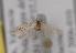 (Coleophora afrosarda - TLMF Lep 04179)  @12 [ ] CreativeCommons - Attribution Non-Commercial Share-Alike (2011) Peter Huemer Tiroler Landesmuseum Ferdinandeum