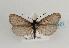 (Heterogynidae - TLMF Lep 06921)  @14 [ ] CreativeCommons - Attribution Non-Commercial Share-Alike (2012) Peter Huemer Tiroler Landesmuseum Ferdinandeum