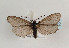 (Heterogynidae - TLMF Lep 06922)  @14 [ ] CreativeCommons - Attribution Non-Commercial Share-Alike (2012) Peter Huemer Tiroler Landesmuseum Ferdinandeum