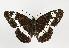 (Limenitis - TLMF Lep 09849)  @15 [ ] CreativeCommons - Attribution Non-Commercial Share-Alike (2013) Peter Huemer Tiroler Landesmuseum Ferdinandeum