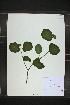 (Viburnum recognitum - MT00179250)  @11 [ ] CreativeCommons - Attribution Non-Commercial (2012) MT Herbier Marie-Victorin
