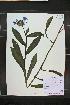 (Centaurea montana - MT00179549)  @11 [ ] CreativeCommons - Attribution Non-Commercial (2012) MT Herbier Marie-Victorin