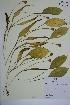 (Erythronium americanum ssp americanum - MT00179978)  @11 [ ] CreativeCommons - Attribution Non-Commercial (2012) MT Herbier Marie-Victorin