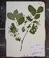 (Prunus virginiana var. virginiana - MT00179996)  @11 [ ] CreativeCommons - Attribution Non-Commercial (2012) MT Herbier Marie-Victorin