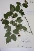(Amelanchier laevis - MT00186358)  @11 [ ] CreativeCommons - Attribution Non-Commercial (2013) MT Herbier Marie-Victorin