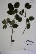 (Amelanchier sanguinea - MT00186360)  @11 [ ] CreativeCommons - Attribution Non-Commercial (2013) MT Herbier Marie-Victorin