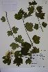 (Viburnum opulus ssp opulus - MT00186602)  @11 [ ] CreativeCommons - Attribution Non-Commercial (2013) MT Herbier Marie-Victorin