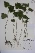 (Viola pubescens var. scabriuscula - MT00186608)  @11 [ ] CreativeCommons - Attribution Non-Commercial (2013) MT Herbier Marie-Victorin
