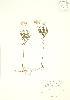 (Oclemena - PHK 018)  @11 [ ] Copyright (2009) Unspecified University of Guelph BIO Herbarium