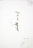 (Sibbaldiopsis - SNEW053_B)  @11 [ ] Copyright (2009) Unspecified University of Guelph BIO Herbarium