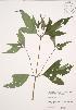 ( - JAG 0730)  @11 [ ] Copyright (2009) Unspecified University of Guelph BIO Herbarium