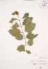 (Cephalanthus - JAG 0683)  @11 [ ] Copyright (2009) Unspecified University of Guelph BIO Herbarium