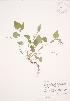 (Viola rostrata - JAG 0476)  @11 [ ] Copyright (2009) Unspecified University of Guelph BIO Herbarium