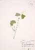 (Viola pubescens - JAG 0470)  @11 [ ] Copyright (2009) Unspecified University of Guelph BIO Herbarium