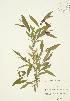 ( - JAG 0530)  @11 [ ] Copyright (2009) Unspecified University of Guelph BIO Herbarium