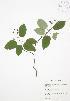 (Amelanchier laevis - JAG 0568)  @11 [ ] Copyright (2009) Unspecified University of Guelph BIO Herbarium