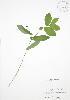 (Uvularia - JAG 0469)  @11 [ ] Copyright (2009) Unspecified University of Guelph BIO Herbarium