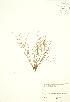 (Juncus bufonius - JK 109)  @11 [ ] Copyright (2009) Unspecified University of Guelph BIO Herbarium