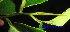 (Diospyros pilosanthera - XM_0412)  @11 [ ] CreativeCommons - Attribution Non-Commercial Share-Alike (2012) C Webb, E Setiawan, H Yanto Arnold Arboretum of Harvard University
