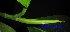 (Artocarpus - XM_0432)  @11 [ ] CreativeCommons - Attribution Non-Commercial Share-Alike (2012) C Webb, E Setiawan, H Yanto Arnold Arboretum of Harvard University