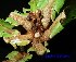 (Buchanania amboinensis - XM_0448)  @11 [ ] CreativeCommons - Attribution Non-Commercial Share-Alike (2012) C Webb, E Setiawan, H Yanto Arnold Arboretum of Harvard University