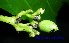 (Neuburgia - XM_0476)  @11 [ ] CreativeCommons - Attribution Non-Commercial Share-Alike (2012) C Webb, E Setiawan, H Yanto Arnold Arboretum of Harvard University