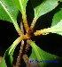 (Palaquium obtusifolium - XM_0508)  @11 [ ] CreativeCommons - Attribution Non-Commercial Share-Alike (2012) C Webb, E Setiawan, H Yanto Arnold Arboretum of Harvard University