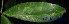 (Cynometra - XM_0403)  @11 [ ] CreativeCommons - Attribution Non-Commercial Share-Alike (2013) Cam Webb, Endro Setiawan & Hery Yanto Arnold Arboretum of Harvard University