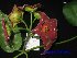 (Hoya - XM_0410)  @11 [ ] CreativeCommons - Attribution Non-Commercial Share-Alike (2013) Cam Webb, Endro Setiawan & Hery Yanto Arnold Arboretum of Harvard University