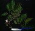 (Canarium oleosum - XM_0531)  @11 [ ] CreativeCommons - Attribution Non-Commercial Share-Alike (2013) Cam Webb, Endro Setiawan & Hery Yanto Arnold Arboretum of Harvard University