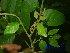 (Micromelum - XM_0546)  @11 [ ] CreativeCommons - Attribution Non-Commercial Share-Alike (2013) Cam Webb, Endro Setiawan & Hery Yanto Arnold Arboretum of Harvard University