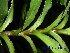 (Pleomele - XM_0547)  @11 [ ] CreativeCommons - Attribution Non-Commercial Share-Alike (2013) Cam Webb, Endro Setiawan & Hery Yanto Arnold Arboretum of Harvard University